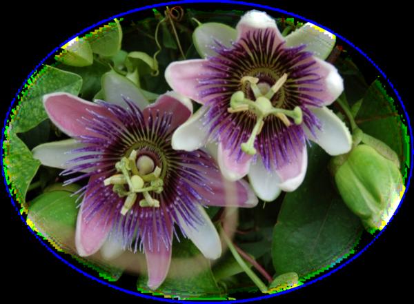 Mes tubes fleurs de passiflore